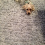 Alameda-Dog-carpet-clean