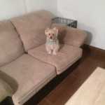 Alameda-Sofa-Pet-Stain-Cleaning